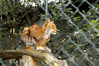 Parc animalier de la Reid, le lynx