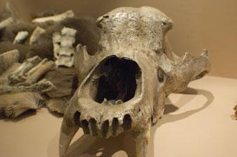 Impressionnante collection d'ossements et de crânes au musée du Malgré-Tout