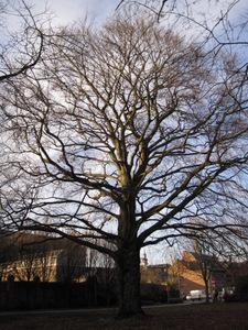 Saint Trond : le hêtre de la Pater Damiaanhof